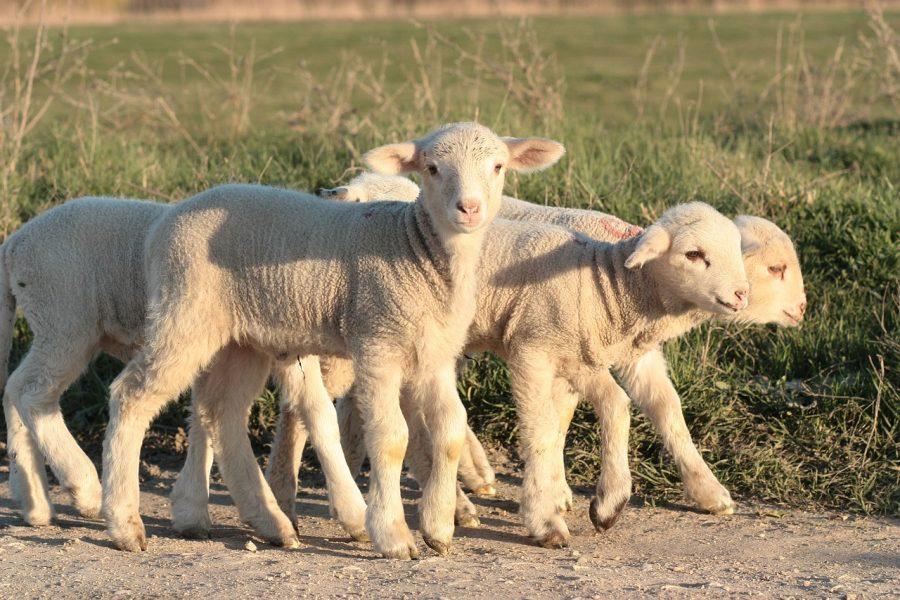 lamb-1265649_1280-baby-pixabay