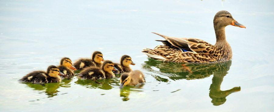 mallard-ducks-934518_1280pixabay