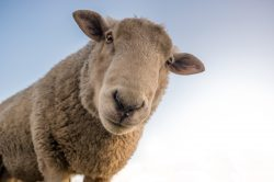 The Dumbass Lamb